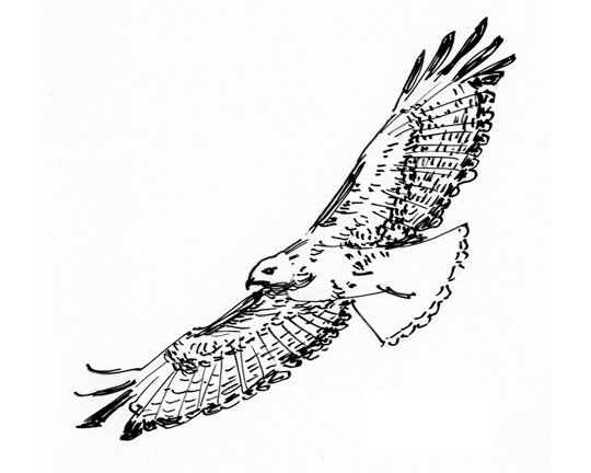 Hawk in Flight, pen and ink illustration by Waitsel Smith