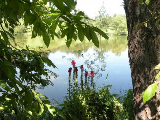 Red Flowers, Lagoon, Biltmore Estate
