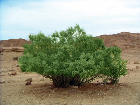 Broom Tree