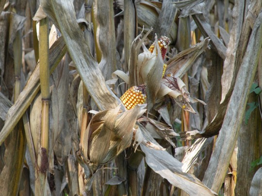 Corn on Stalk, Autumn, Biltmore Estate