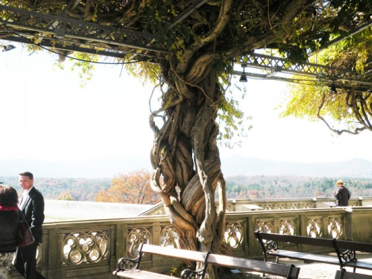 Wisteria Vines, Library Terrace, Biltmore Estate