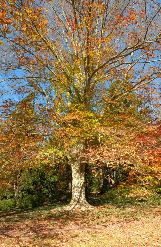 Beech Tree, Autumn, Biltmore Estate